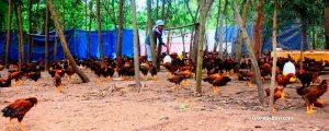 Nuôi giun quế kết hợp nuôi gà