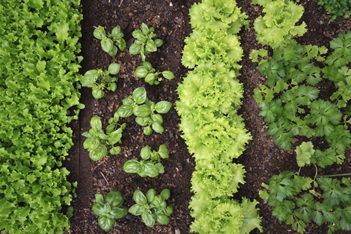 Vườn rau sử dụng phân trùn quế